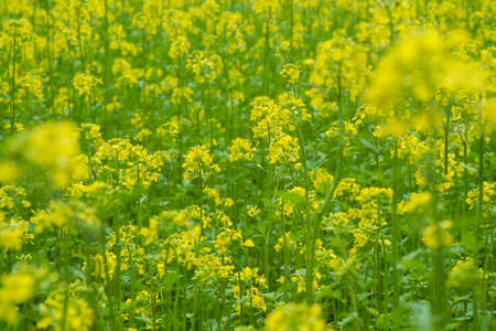 Mustard plants with green pods and beautiful yellow flowers at mustard plants with green pods and beautiful yellow flowers at the farm stock photo 94961021 mightylinksfo