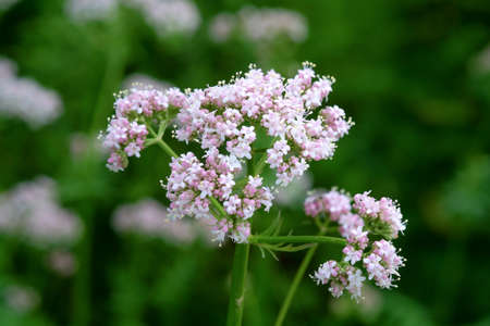 Medicinal plants - Budding pink flowering common Valerian (Valeriana officinalis) in the summer season. Stock Photo