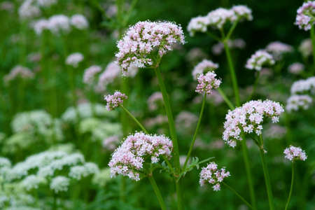 Medicinal plants - Budding pink flowering common Valerian (Valeriana officinalis) in the summer season. Stock fotó - 95032862