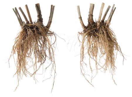 Medicinal plants. Valeriana officinalis. Whole fresh Valerian root isolated on white background. Stock Photo
