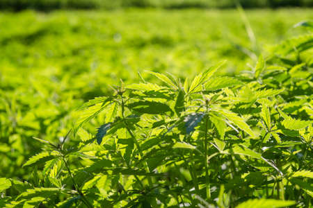 New Industrial hemp plants grow in the field. cannabis sativa 写真素材