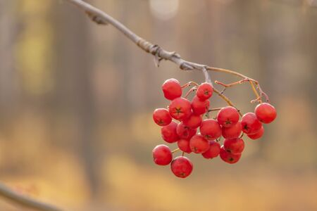 mountain ash on a branch close up