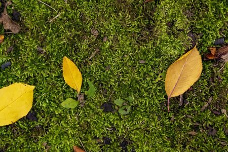 yellow autumn leaves on moss