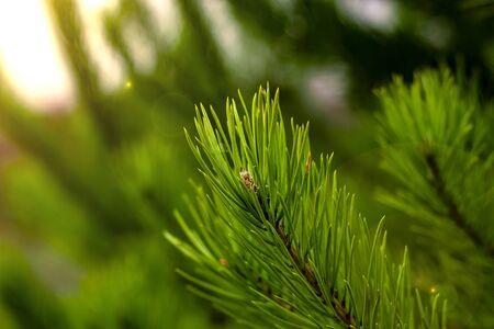 closeup needles of a coniferous tree in the sun Stockfoto