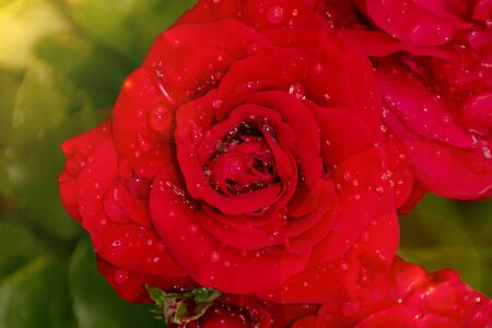 red rose in dew drops close up petals top view Stockfoto