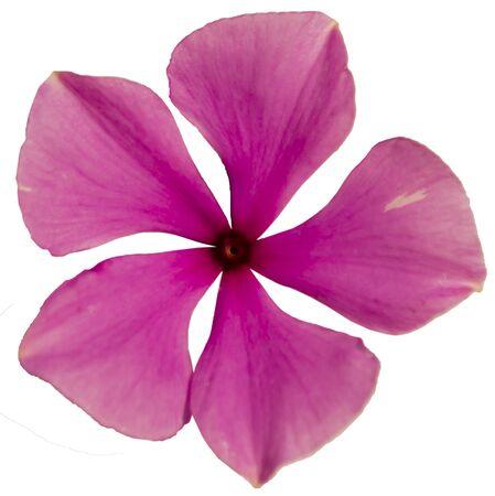 pink flower five petals close up top view