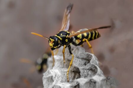 wasp sitting on top of wasp nest close up