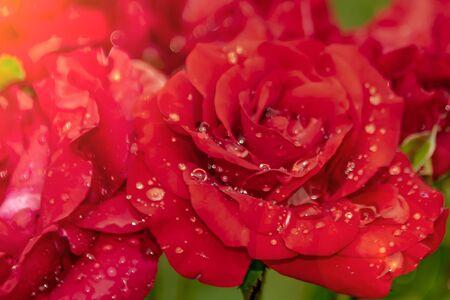 red rose in dew drops close up petals