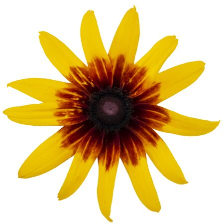 yellow flower isolated clsoe-up large petals top view Stockfoto