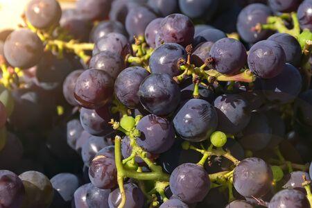 dark grapes close up Isabella Stockfoto