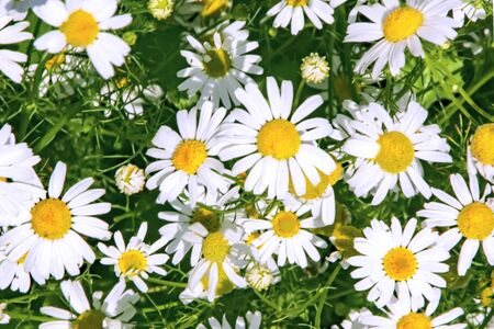lots of white Daisies close up top view