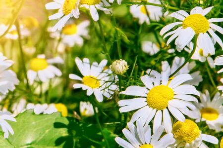 White chamomile on blurred background closeup