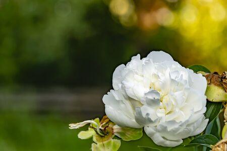 large white rose on green bokeh background