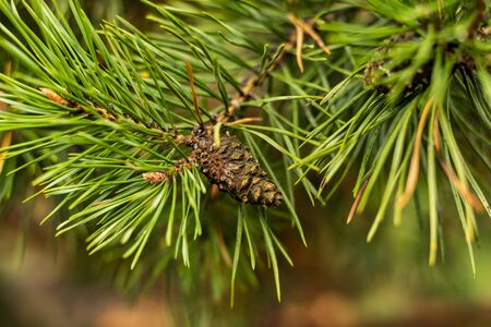 on a pine branch cone close up long needles