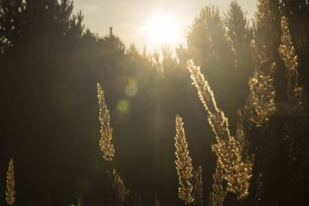 the grass glows in the rays sunset, outdoor scene Stockfoto