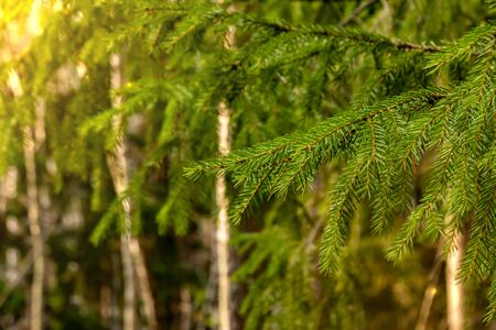 green pine branches in the light of the sun with an orange tint