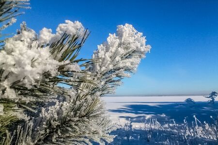 pine branches in the snow and blue sky