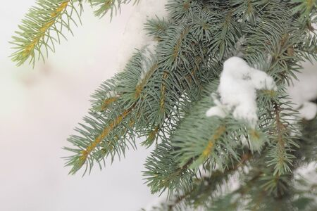 Spruce branches with needles in the snow closeup
