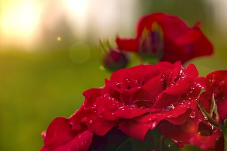 red rose dew drops close up in sunlight