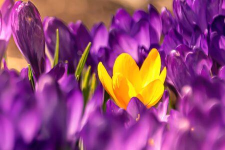 one yellow flower among the purple ones Standard-Bild