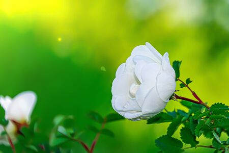 a single white wild rose flower Banque d'images