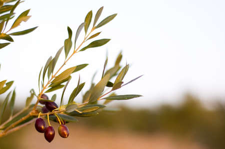 olives in Creece, sunset time photo