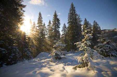 Sunlight in the forest in Carpathians, Ukraine. photo