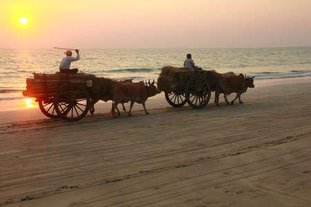 bullock animal: Carts harnessed by bulls in Ngve Soung, Bay of Bengal, Myanmar (Burma)