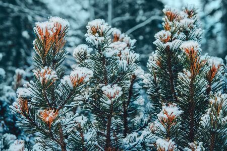 On the green branches of spruce or pine is beautiful white snow. In the foreground a few branches of pine or spruce. In the background snow in the woods. Festive, Christmas mood. The sun is shining Фото со стока