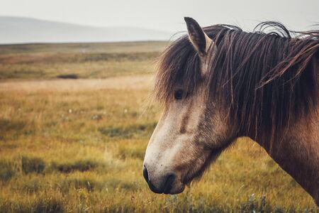Icelandic horse in the field of scenic nature landscape of Iceland. The Icelandic horse is a breed of horse locally developed in Iceland as Icelandic law prevents horses from being imported