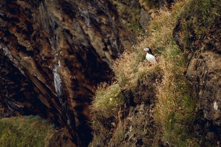Atlantic Puffin sitting on cliff, bird in nesting colony, arctic black and white cute bird with colorful beak, bird on rock, green background, beautiful funny bird on rock
