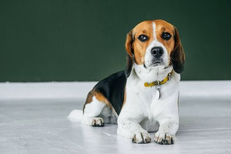 Beagle dog with a yellow collar sits on a white wooden floor. Tricolor dog looks sad. Imagens