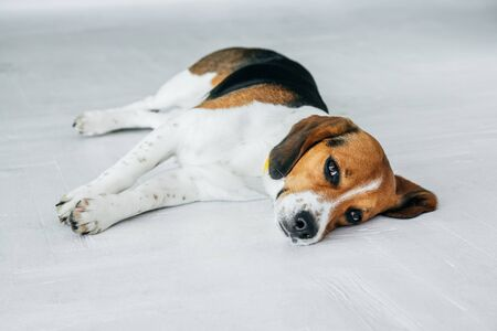 Beagle dog with a yellow collar sleeping on a white wooden floor. Sleepy dog sleeping and dreaming. Tricolor dog.