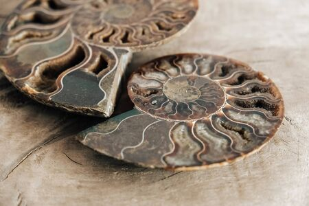 Ammonites fossil shell on wooden background. Copy, empty space for text. Polished half of petrified shells as souvenirs, gift.