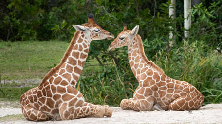 giraffes. two giraffes. giraffe children