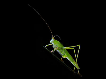 Locust in black background. Insect macro Stock Photo