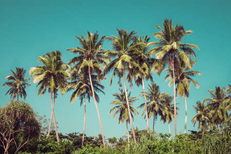 tropics: Coconut palm trees and mangrove in tropics as a background. Toned effect Stock Photo