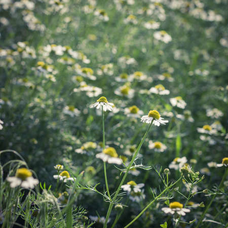 camomiles: Camomiles on a meadow as a natural background
