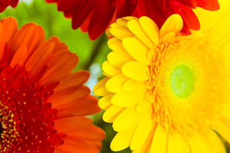 Bright colorful gerbera flowers close up as a natural background