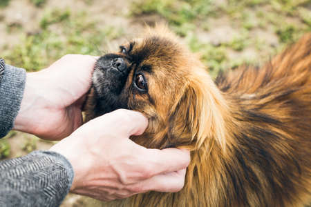 Mans hands holding a cute pekingese dogs muzzle Stock Photo