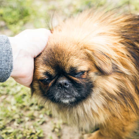 A cute pekingese dog and a mans hand outdoor