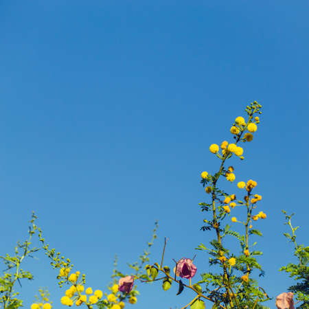 Mimosa branch with yellow flowers against bright blue sky as a natural spring background