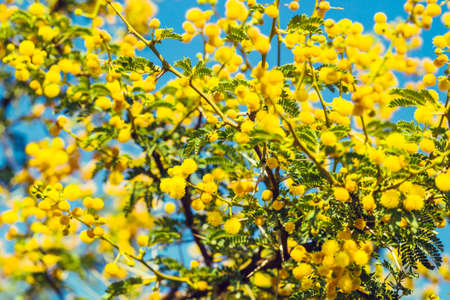 Yellow mimosa branch against bright blue sky as a natural spring background Stock Photo