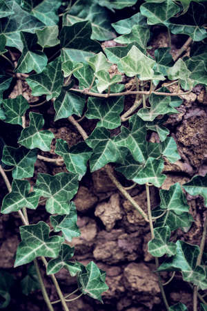 Fresh ivy leaves close up on the stone wall. Natural background Stock Photo