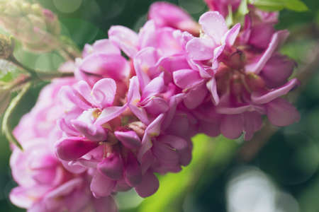 Spring branch with clammy locust (Robinia Viscosa or  Robinia hispida ) flowers. Blooming pink acacia bunch with rain drops close up. Macro abstract soft floral background Zdjęcie Seryjne