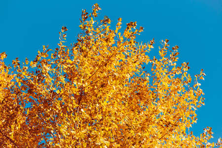Autumn tree with golden leaves next to clear blue sky. Colorful nature background. Fall concept