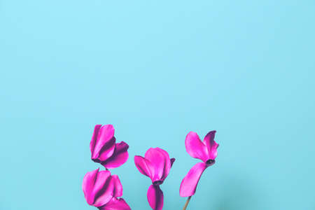 Cyclamen flowers close up. Beautiful abstract backdrop with copy space