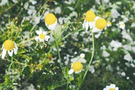 camomile: chamomile, camomile, daisy wheel, daisy chain,