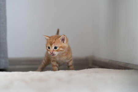 after a delicious breakfast, a beautiful ginger cat, small and short-haired, walks on the bed. Licks and looks away, place for text Foto de archivo