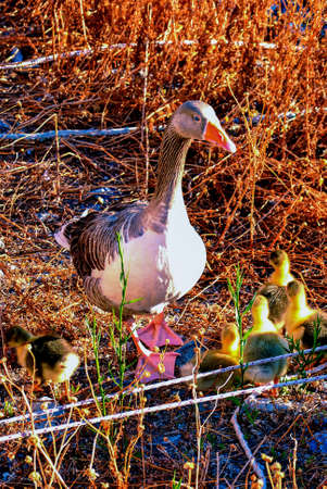 A duck with her duck chicks Stock Photo